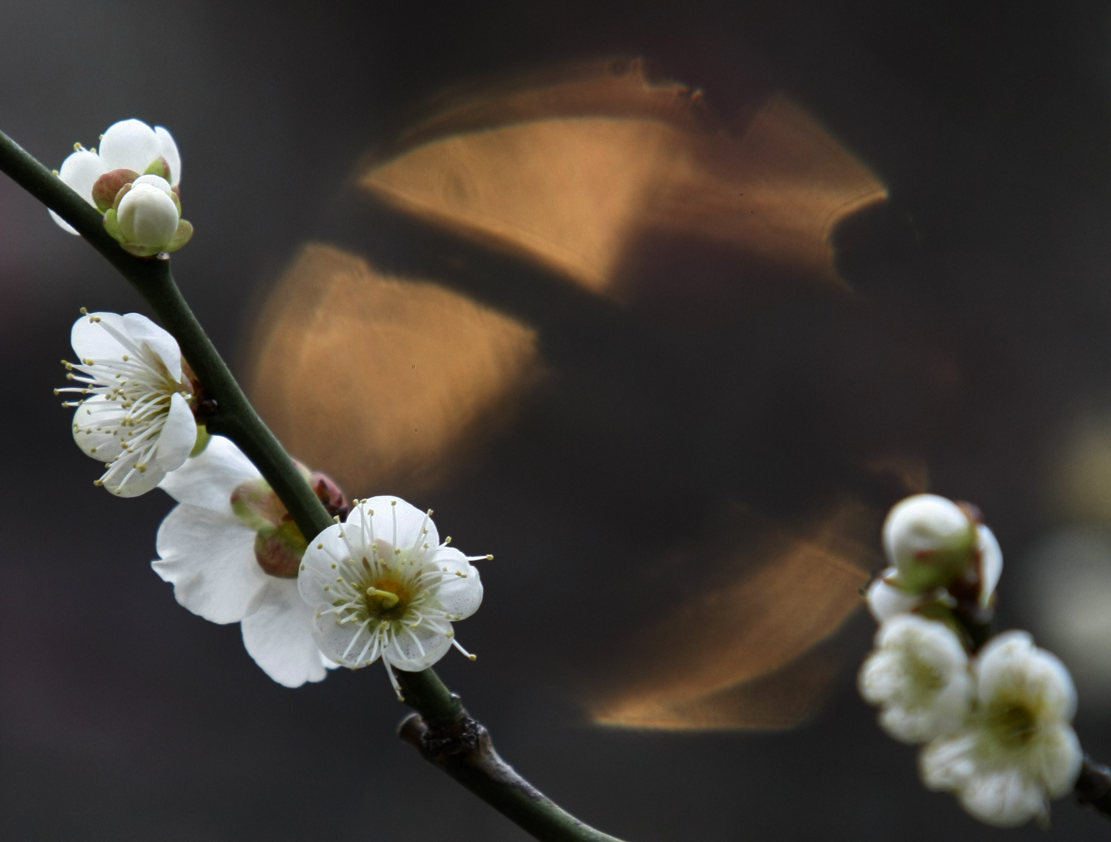 A white plum tree in blossom is seen at Yushimatenjin temple in Tokyo